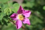 bee enjoying a wild rose at garlic goodness in red deer county ab