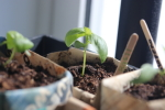 basil early in april in a newspaper pot at garlic goodness growing natural garlic near innisfail ab