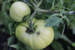 ultrasonic tomato at garlic goodness growing natural garlic and seasonal vegetables in red deer county ab