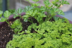 chervil and parsley at garlic goodness growing natural garlic and seasonal vegetables near innisfail, ab