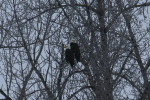 bald eagles at the red deer river