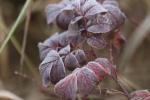 frost on the roses at garlic goodness growing garlic and seasonal vegetables in red deer county ab