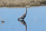 great blue heron at garlic goodness growing natural garlic and seasonal vegetables in red deer county ab