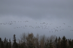 geese at garlic goodness growing natural garlic and seasonal vegetables in red deer county ab