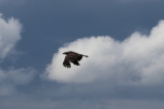 golden eagle at garlic goodness growing natural garlic and seasonal vegetables near innisfail, ab