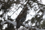 ruffed grouse at garlic goodness in red deer county ab