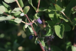 honeyberries at garlic goodness growing natural garlic in red deer county ab