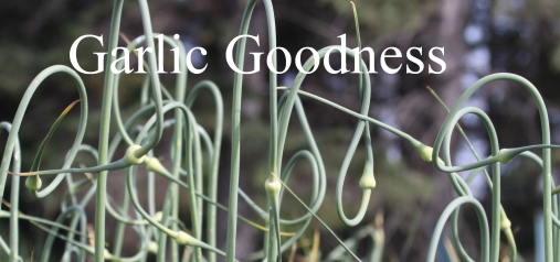 garlic goodness growing natural garlic, seasonal vegetables and raising scottish highland cattle in red deer county ab