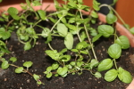 mint in may at garlic goodness growing natural garlic and seasonal vegetables near innisfail ab