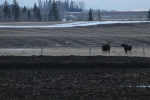 moose at garlic goodness growing natural garlic and seasonal vegetables near innisfail, ab