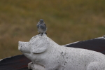 mountain bluebird at garlic goodness growing natural garlic and seasonal vegetables near innisfail ab