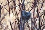 nest in a dogwood at the river at garlic goodness innisfail ab