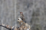 northern flicker at garlic goodness growing natural garlic and seasonal vegetables near innisfail, ab