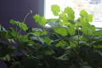 pelargonium in march at garlic goodness growing natural garlic in red deer county alberta