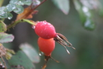 rosehips in August at garlic goodness growing natural garlic and seasonal produce in red deer county ab