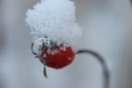 snow on the rosehips at garlic goodness in red deer county ab
