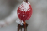 snowflakes on a rosehip at garlic goodness in red deer county ab