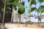 tomatillo in newspaper pots at garlic goodness growing natural garlic near innisfail ab