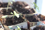 tomatillo in newspaper pots at garlic goodness growing natural garlic in red deer county ab
