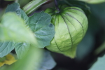 tomatillo at garlic goodness growing natural garlic and seasonal vegetables in red deer county ab