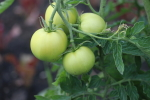 ultrasonic tomatoes at garlic goodness growing natural garlic and seasonal vegetables in red deer county ab
