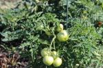 tomatoes July 11 at garlic goodness growing natural garlic in red deer county ab