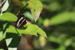 white admiral butterfly at garlic goodness in red deer county alberta