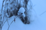 snow on a willow gall at garlic goodness growing garlic and seasonal vegetables in red deer county ab
